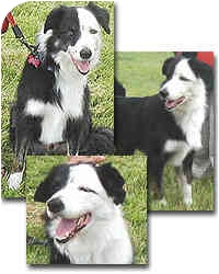Border Collie Dog for adoption in Stephentown, New York - Trent