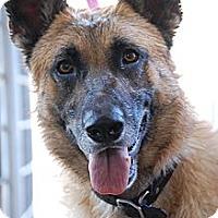 Adopt A Pet :: Jet - Altadena, CA