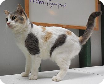 Domestic Shorthair Cat for adoption in Grinnell, Iowa - Alicia
