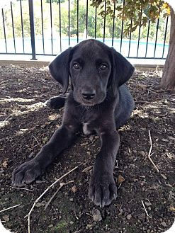 Labrador Retriever Mix Puppy for adoption in New Oxford, Pennsylvania - Mr. Spacey