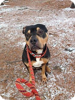American Staffordshire Terrier Mix Dog for adoption in New York, New York - Robby
