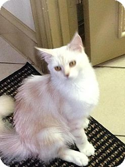Siberian Cat for adoption in Weatherford, Texas - *LUNA*
