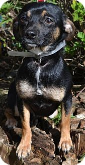 Chihuahua Mix Dog for adoption in Antioch, California - Gibbs
