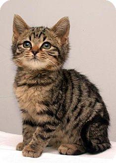 Domestic Mediumhair Kitten for adoption in Fayetteville, Georgia - Gloria