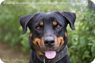 Rottweiler Mix Dog for adoption in Beaumont, Texas - Harper