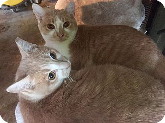 Domestic Shorthair Cat for adoption in Franklin, Tennessee - Cap & Bucky
