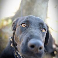 Border Collie Mix Dog for adoption in Muldrow, Oklahoma - Macy
