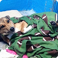 Adopt A Pet :: Masha - Pompton Lakes, NJ