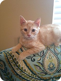Domestic Mediumhair Kitten for adoption in Tampa, Florida - Rudy