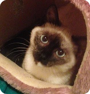 Tonkinese Cat for adoption in Houston, Texas - Violet