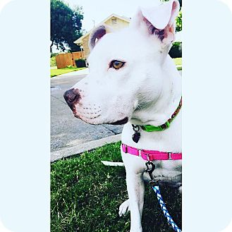 Catahoula Leopard Dog/Dalmatian Mix Dog for adoption in Dallas, Texas - Lacey