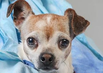 Chihuahua Mix Dog for adoption in Colorado Springs, Colorado - Dudley
