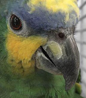 Amazon for adoption in Villa Park, Illinois - Fritz