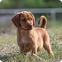 Adopt A Pet :: *Dillon - PENDING - Westport, CT