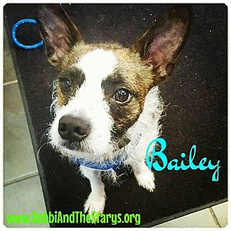 Boston Terrier Dog for adoption in Freeport, New York - Bailey
