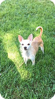 Chihuahua/Cairn Terrier Mix Dog for adoption in Va Beach, Virginia - Autumn