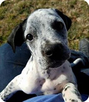Blue Heeler Mix Puppy for adoption in Snyder, Texas - Blue