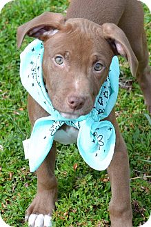Pit Bull Terrier Mix Puppy for adoption in Albemarle, North Carolina - Brynndon