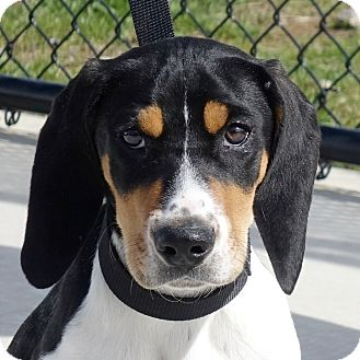 Treeing Walker Coonhound Mix Puppy for adoption in Columbia, Illinois - Houston