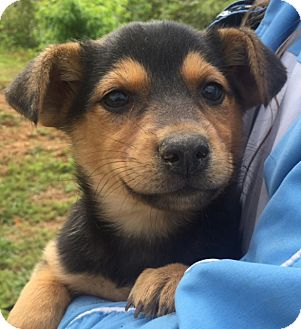 Australian Cattle Dog/Shepherd (Unknown Type) Mix Puppy for adoption in Twinsburg, Ohio - Rogue (6 lb) Video