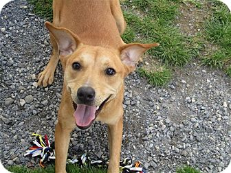 Beagle/Feist Mix Dog for adoption in Liberty Center, Ohio - Gertie