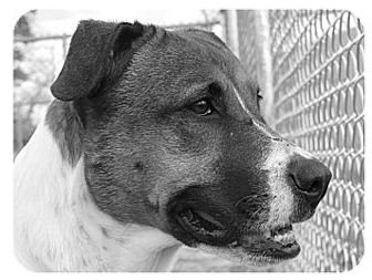 Australian Cattle Dog/Pointer Mix Dog for adoption in Conroe, Texas - Phoebe
