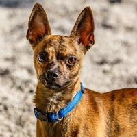 Adopt A Pet :: Coyote Ugly - Decatur, GA