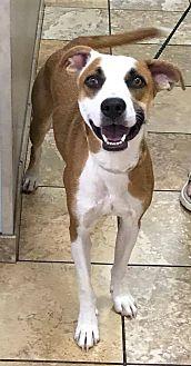 Labrador Retriever/Boxer Mix Dog for adoption in Las Vegas, Nevada - Arlington