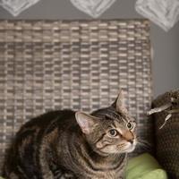 Adopt A Pet :: Vixen - Bradenton, FL