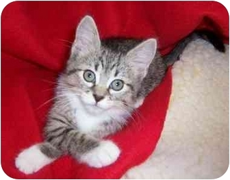 Domestic Shorthair Kitten for adoption in Taylor Mill, Kentucky - Serena