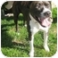 Photo 3 - American Pit Bull Terrier Mix Dog for adoption in Berkeley, California - Athena