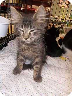 Domestic Longhair Kitten for adoption in Riverside, Rhode Island - Jake