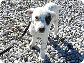 Australian Cattle Dog/Terrier (Unknown Type, Small) Mix Puppy for adoption in Lawrenceburg, Tennessee - Spot