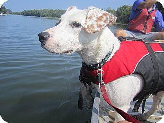 Retriever (Unknown Type)/Pointer Mix Dog for adoption in Alexandria, Virginia - Orvis