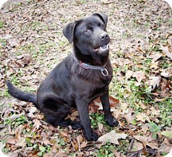 Labrador Retriever/Chow Chow Mix Dog for adoption in Houston, Texas - Bob