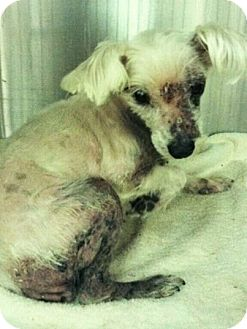 Maltese Mix Dog for adoption in Mary Esther, Florida - Blossom