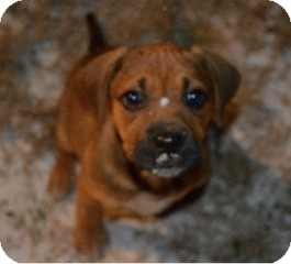 Hound (Unknown Type) Mix Puppy for adoption in East Hartford, Connecticut - Penny-adoption pending