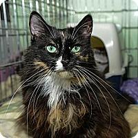 Adopt A Pet :: Shiloh - New York, NY