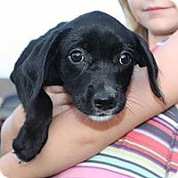 Adopt A Pet :: Adele - PENDING - kennebunkport, ME