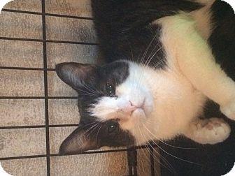 Domestic Shorthair Cat for adoption in Wenatchee, Washington - Vinny