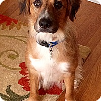 Adopt A Pet :: Ollie - New Canaan, CT