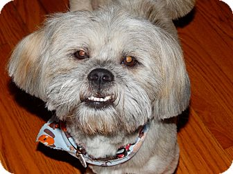 Lhasa Apso/Shih Tzu Mix Dog for adoption in Mentor, Ohio - RONNIE**20 lbs!!