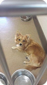 Pomeranian Mix Dog for adoption in Las Vegas, Nevada - Dozer