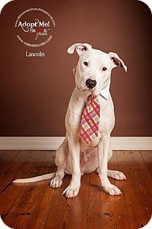 Dogo Argentino/American Bulldog Mix Dog for adoption in Philadelphia, Pennsylvania - Lincoln