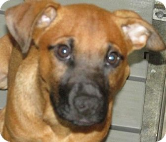 Hound (Unknown Type) Mix Puppy for adoption in Aiken, South Carolina - RUGBE