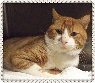 Domestic Shorthair Cat for adoption in Marietta, Georgia - ERIC