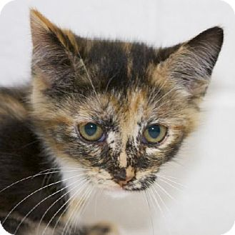 Domestic Shorthair Kitten for adoption in Salem, Massachusetts - Alvera