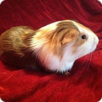 Adopt A Pet :: Paul - Williston, FL