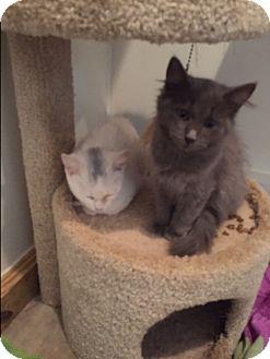 Domestic Longhair Kitten for adoption in Ashland, Ohio - GrayC