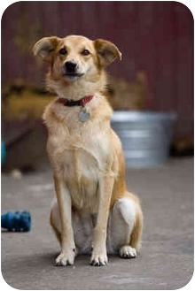 Golden Retriever/German Shepherd Dog Mix Dog for adoption in Portland, Oregon - Sandy